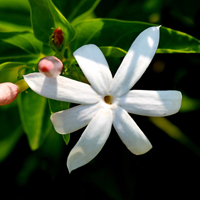 Night Blooming Jasmine (type)